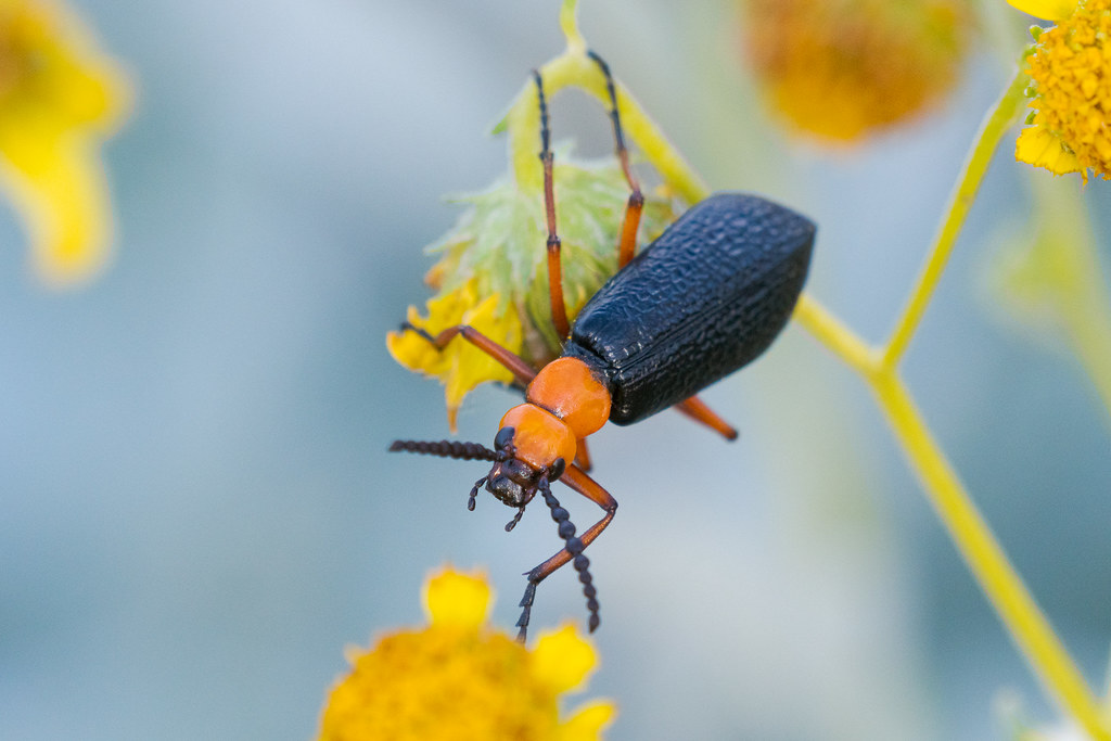 A master blister beetle clings to one brittlebush blossom while reaching out to try and grasp another blossom, taken on the Marcus Landslide Trail in McDowell Sonoran Preserve in Scottsdale, Arizona in May 2019