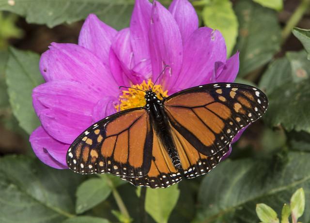 Monarch, male (Danaus plexippus)