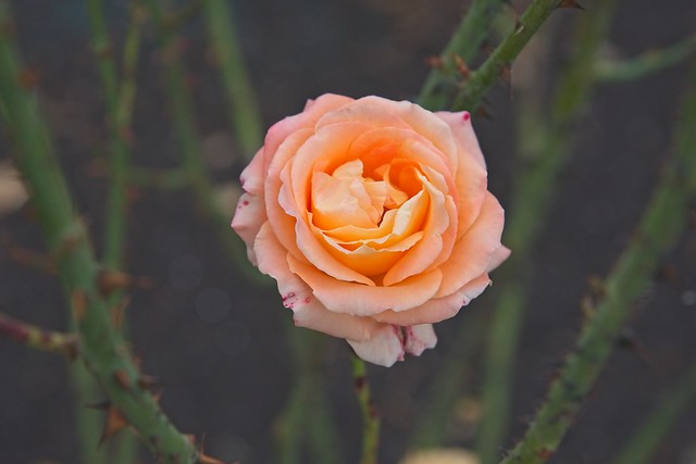 Every rose has it's thorn - HSS!