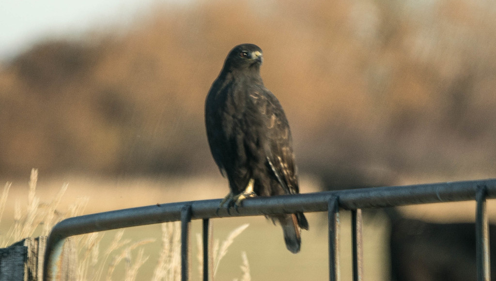 Harlans Redtail (1 of 1)