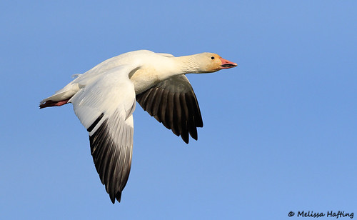 Snow Goose (Chen caerulescens) - Richmond, BC