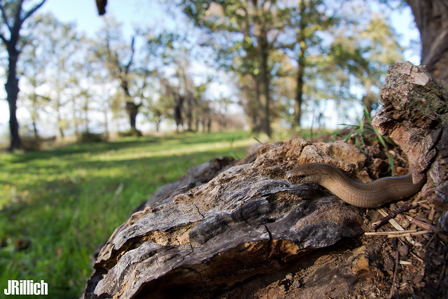 slow worm on an anthill @ Leipzig, Auwald 2019