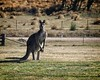 Kangaroo at Majors Creek