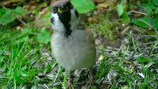 Põldvarblane / Passer montanus / Eurasian tree sparrow / Pikkuvarpunen / Feldsperling