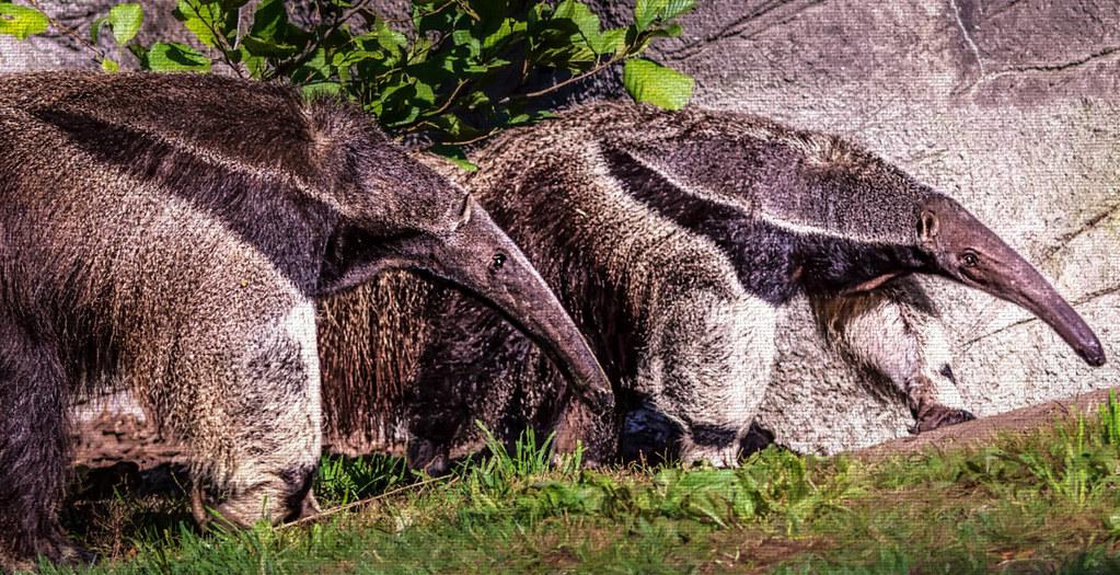 Giant Anteaters (Myrmecophaga tridactyla)