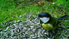 Nokatäis / Rasvatihane / Great tit / Parus major