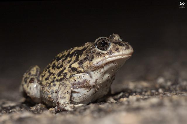 Sapo-de-unha-negra, Iberian spadefoot toad (Pelobates cultripes)
