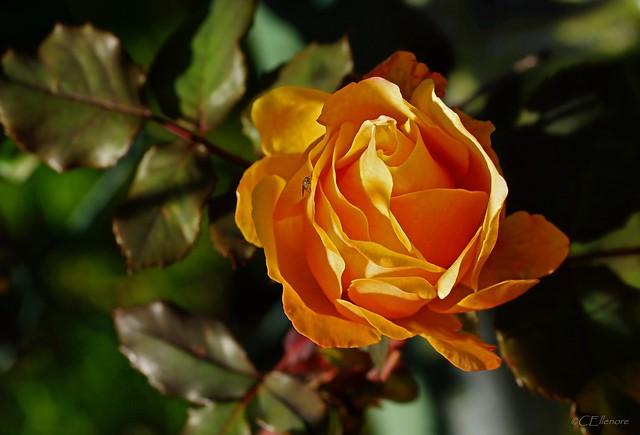 Rose im Sonnenlicht
