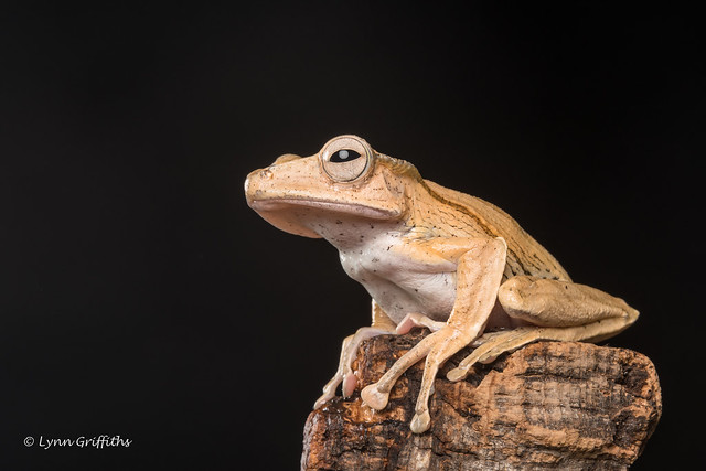 Borneo Eared Frog - Hmm where to next? D50_8184.jpg