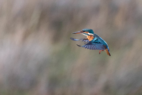 Kingfisher on the Hover