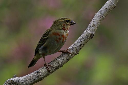 afrique arbre branche comores nature oiseau rouge foudirouge foudiamadagascariensis moroni grandecomore