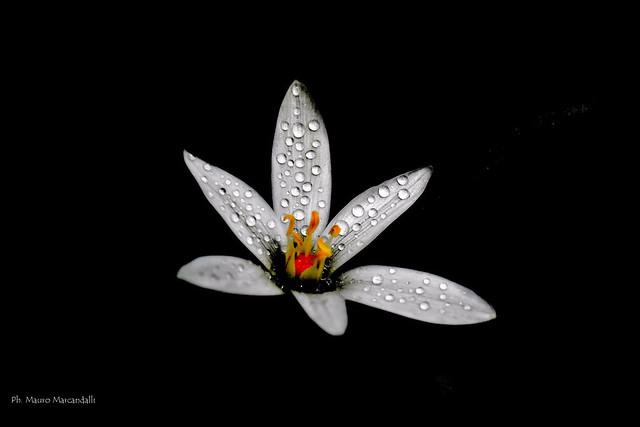 fiore di rugiada