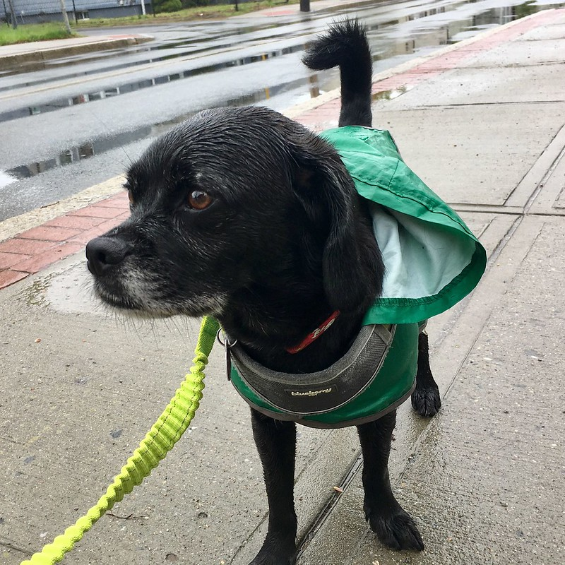 Wet black puggle in a green raincoat on the sidewalk with puddles in the background.