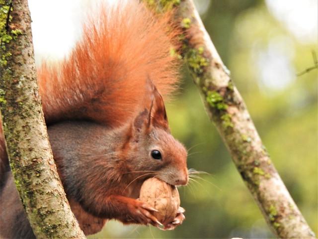Squirrel / Eichhörnchen   DSCN0073BB_IP