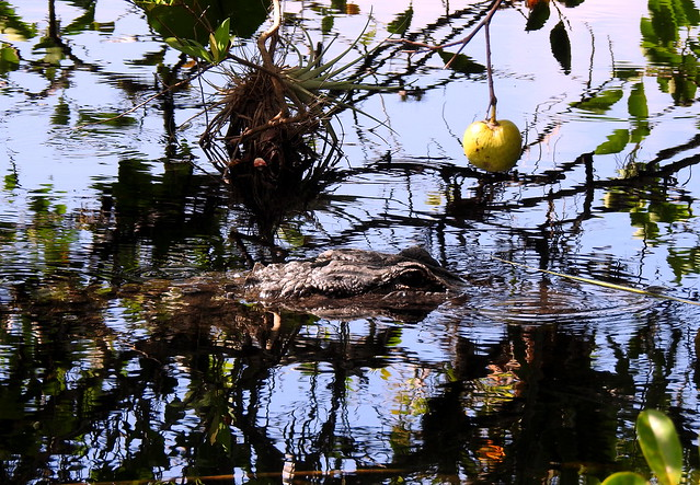 American Alligator At Anhinga Trail - Erverglades - Florida - USA