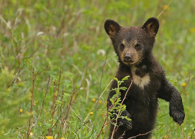 Black bear cub...#45