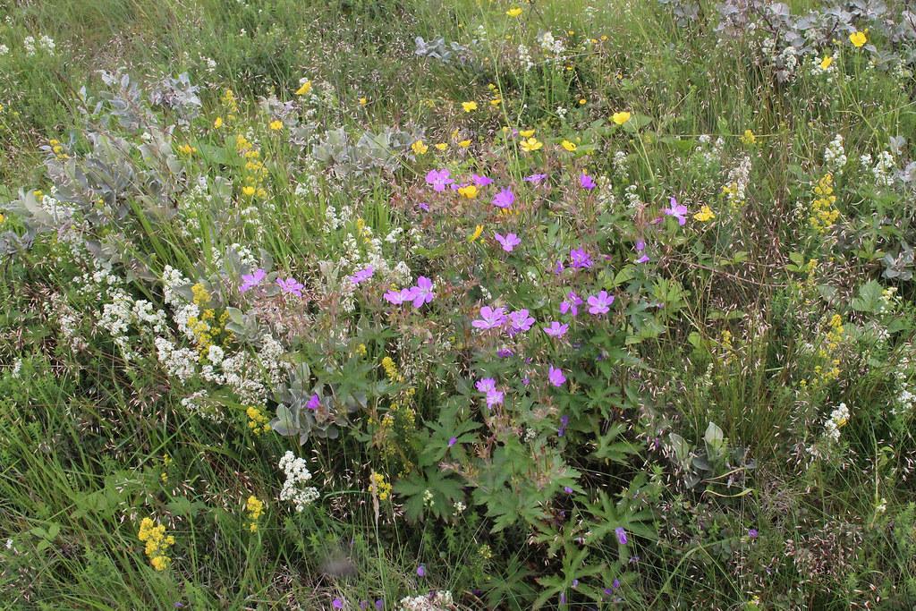 Geranium sylvaticum L. - Bosooievaarsbek - Gullfoss - IJsland