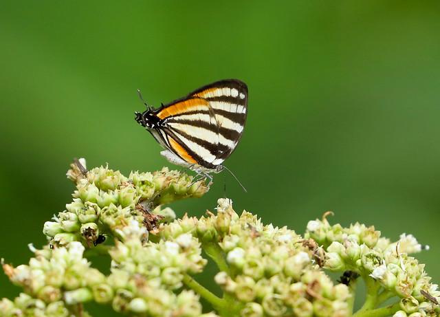 Chiapas Stripe-streak --- Arawacus togama