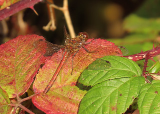 Common Darter - Sympetrum striolatum