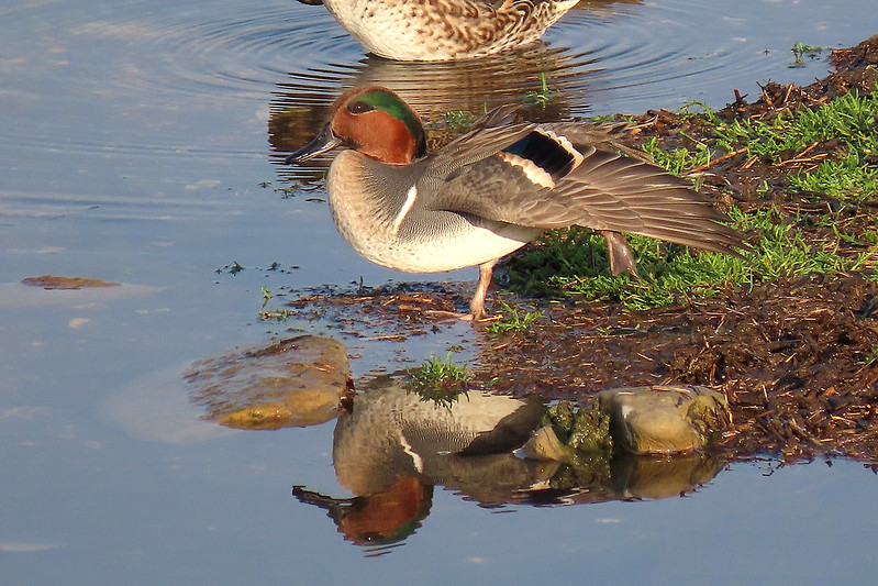 Green-winged Teal - Anas carolinensis