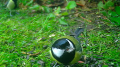 Rasvatihane / Great tit / Parus major