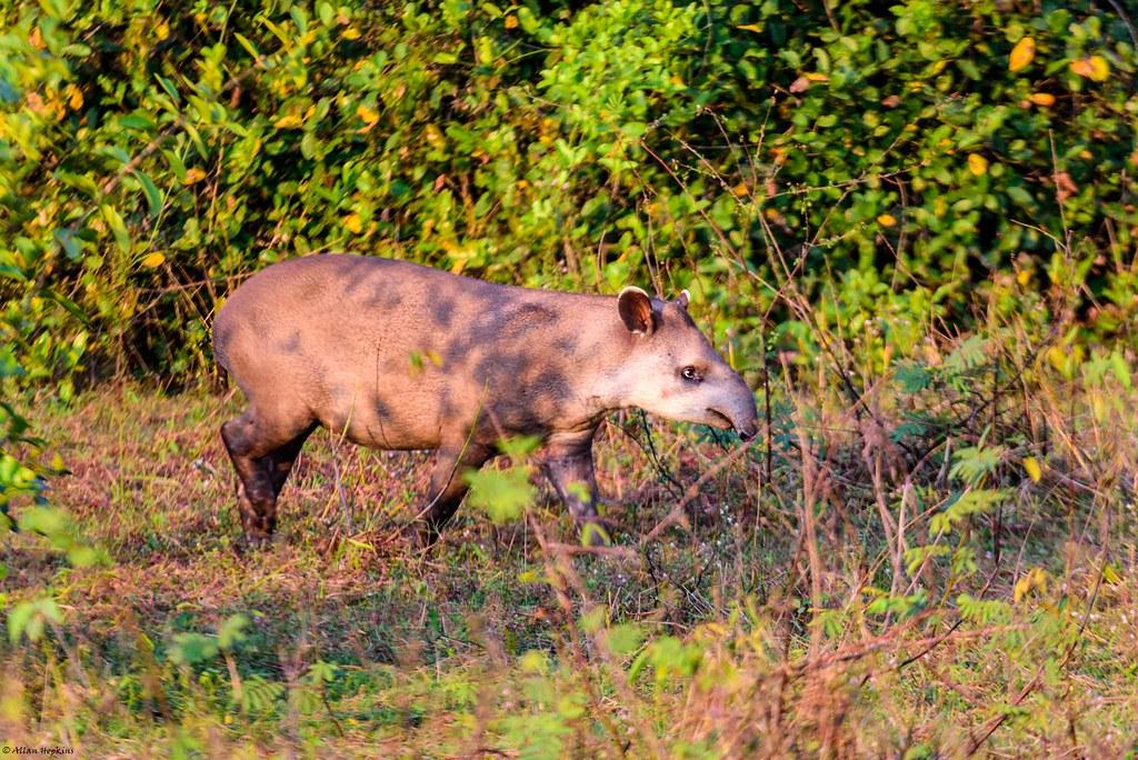 South American Tapir (Tapirus terrestris), juvenile
