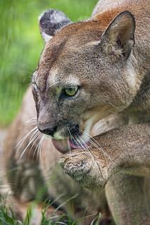 Puma licking his paw