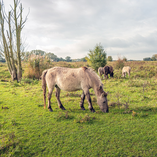 Square image of a herd of grazing wild horses in a Dutch nature reserve