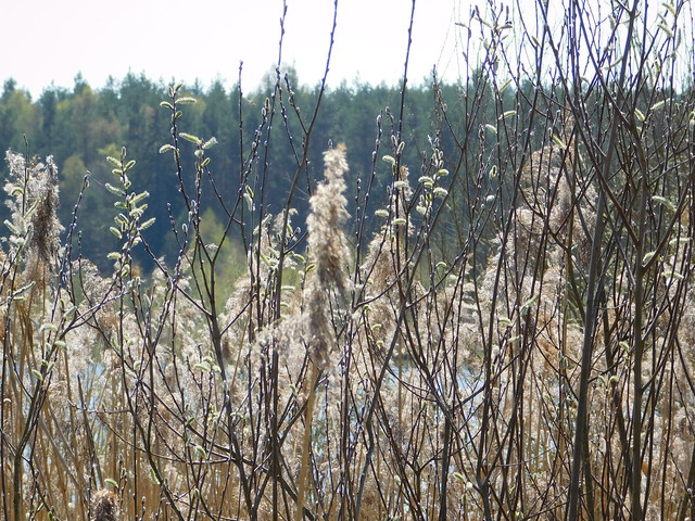 Reet mit Weiden