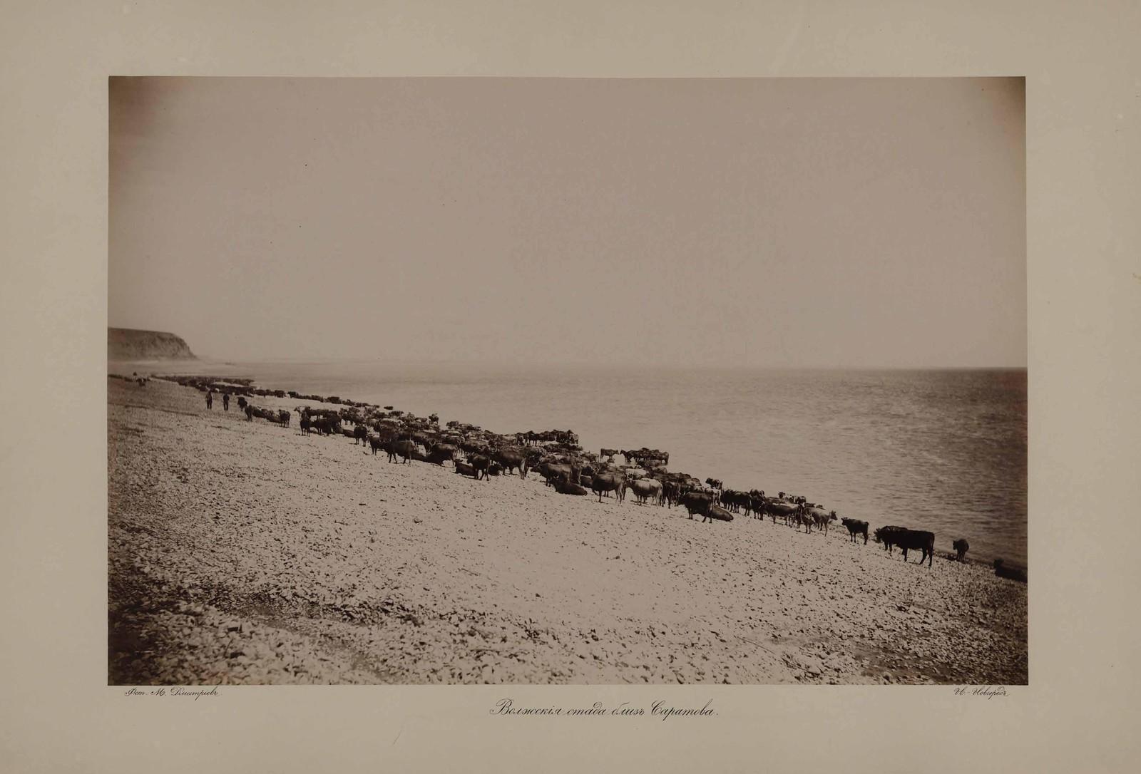 Волжские стада близ Саратова
