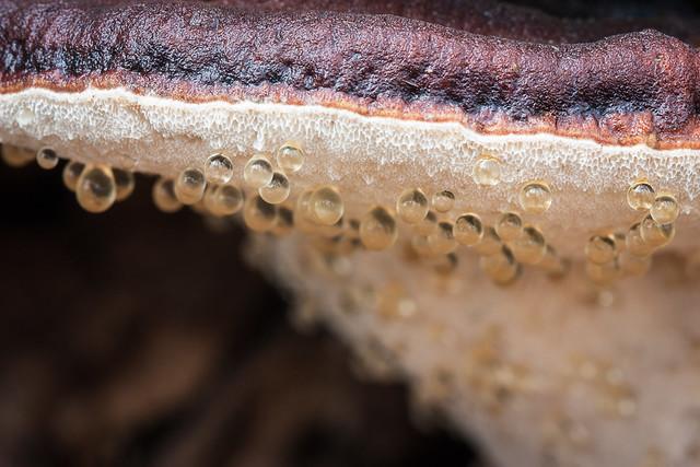 Resinous polypore