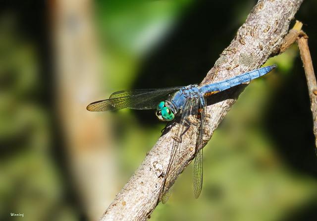 Blue Dasher 1098