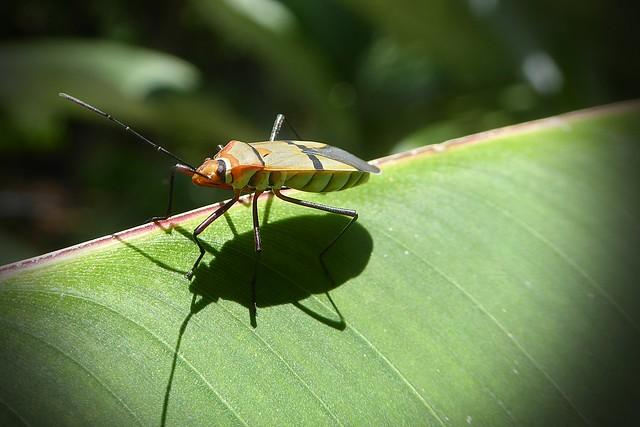 Pyrrhocoridae - red bug