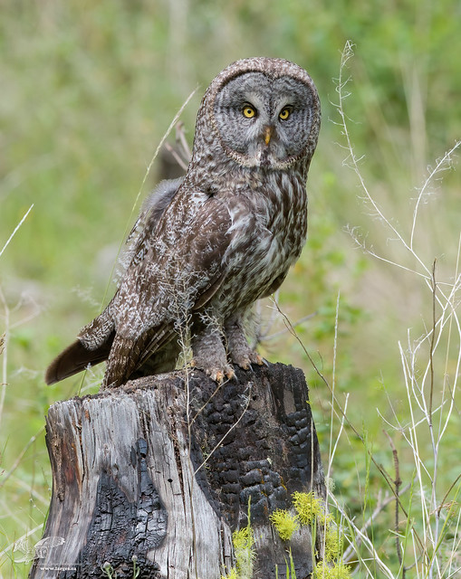Burnt Out (Great Grey Owl)