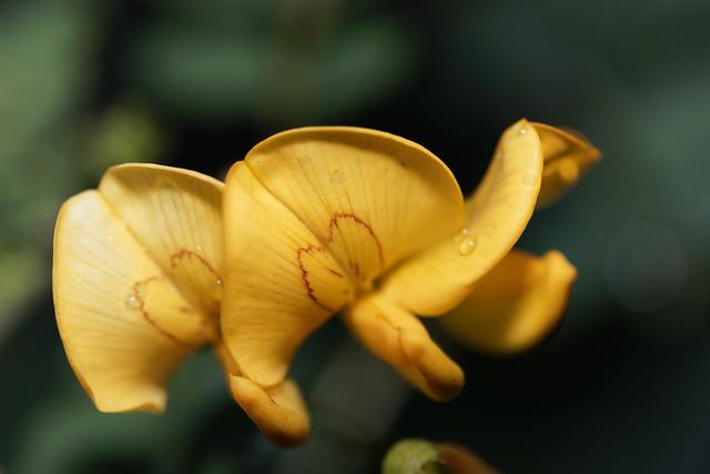 Yellow flowering hedge