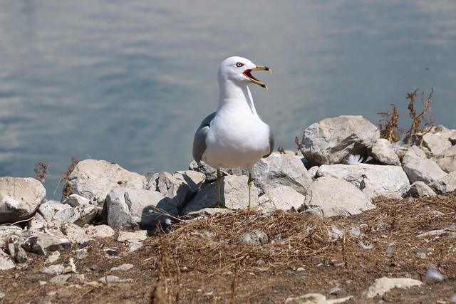 Ring-billed Gull nest