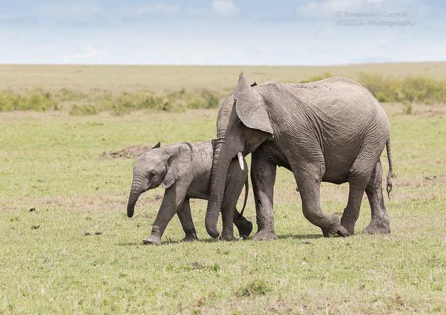 African Elephant capers - Loxidonta africana