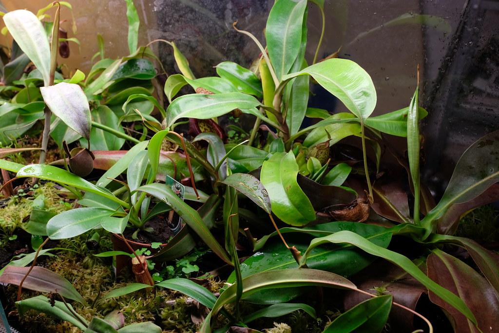 Nepenthes under flourescent light