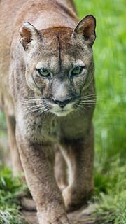 Puma calmly walking