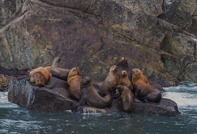 Sea Lions  Kenai Fjords Alaska.