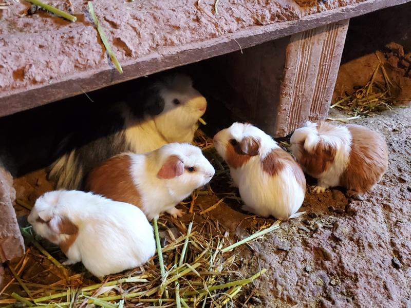 Peru guinea pigs