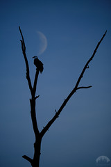 Bald Eagle with the Moon