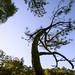 S-curve pine