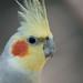 """<p><a href=""""https://www.flickr.com/people/125042147@N06/"""">fqamorim</a> posted a photo:</p>  <p><a href=""""https://www.flickr.com/photos/125042147@N06/49008580418/"""" title=""""Parakeet""""><img src=""""https://live.staticflickr.com/65535/49008580418_e49a2c3705_m.jpg"""" width=""""160"""" height=""""240"""" alt=""""Parakeet"""" /></a></p>"""