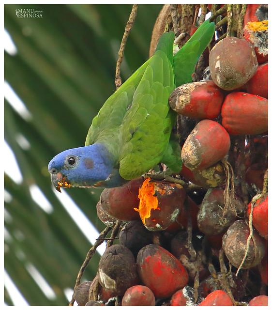 Loro Cabeciazul, Pionus menstruus, Blue-headed Parrot. Limoncocha, Sucumbios, Ecuador