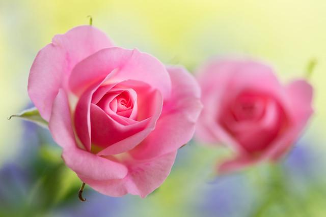 rose 0383