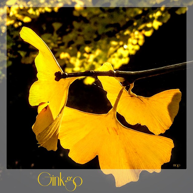 The Glow of the Ginkgo!