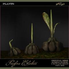 Lilith's Den -  Pucifera Elastica