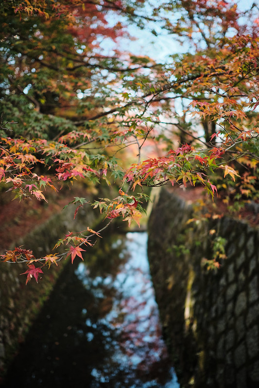 Japanese maples in fall on the Philosopher's Path in Kyoto