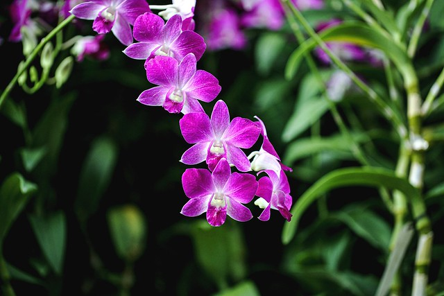 Orchid Denorobium Ekapol